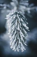 Nahaufnahme von gefrorenen Kiefernblättern