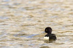 büschelige Ente schwimmen