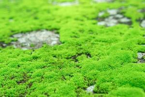 schönes grünes Moos auf dem Boden nass, Nahaufnahme schönes hellgrünes Moos im Garten mit Steinen.