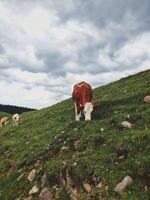 braune und weiße Kühe auf grünem Feld