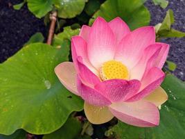 Nahaufnahme eines rosa Lotus