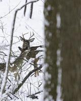 Hirsche in verschneiten Wäldern