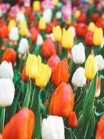 bunte Tulpen in voller Blüte