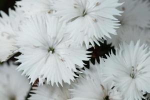 weiße Dianthusblüten