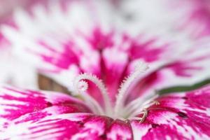 buntes Dianthusblumenmakro