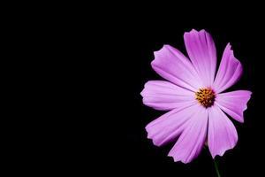 bunte Dianthusblume auf schwarzem Hintergrund