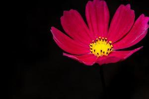 rote Dianthusblume auf schwarzem Hintergrund