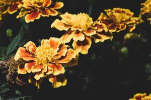 gelbe Dianthusblume auf schwarzem Hintergrund