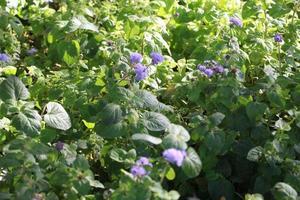 Pflanze mit lila Blüten foto