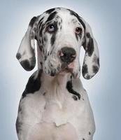 Deutsche Dogge Welpe, 6 Monate alt, blauer Hintergrund
