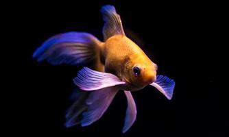 schöner Goldfisch