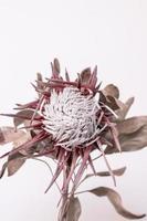 getrocknete rote und weiße Blume