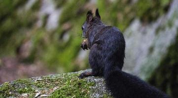 kleines Eichhörnchen in einem Wald mit einer Nuss foto