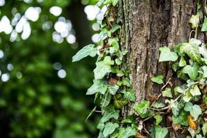 Efeu wächst entlang eines Waldbaumes