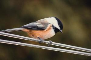 Nahaufnahme des Vogels am Kabel