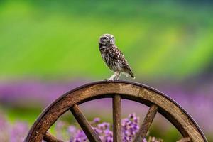 kleine Eule, die auf einem Holzrad in einem Lavendelfeld sitzt foto
