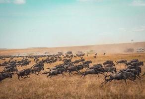 Wildbeast Herde läuft