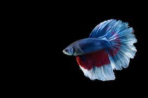 Halbmond Betta Fisch mit blauen und roten Streifen