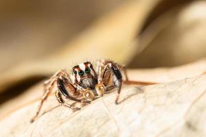 braune springende Spinne auf einem trockenen Blatt