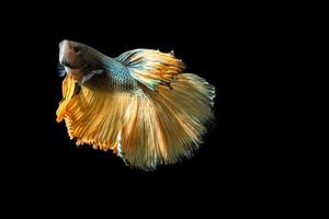 Halbmond Betta Fisch auf schwarzem Hintergrund