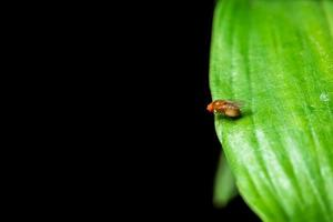 Drosophila auf einem grünen Blatt