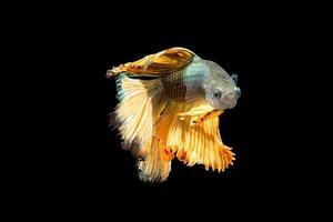 Halbmond Betta Fisch auf schwarzem Hintergrund foto