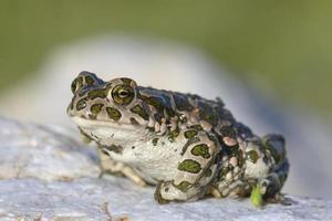 Bufo Viridis. grüne Kröte auf Naturhintergrund.