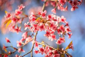 schöne Kirschblüte foto