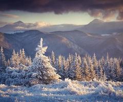 gefrorener kleiner Tannenbaum in den Winterbergen bei Sonnenaufgang