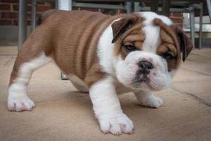 Britischer Bulldoggenwelpe hat Angst