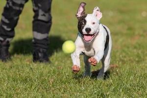 amerikanische Bulldogge läuft nach Ball foto