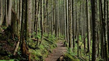 hohe Redwood-Bäume foto