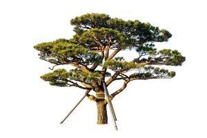 grüner Naturbaum lokalisiert auf weißem Hintergrund