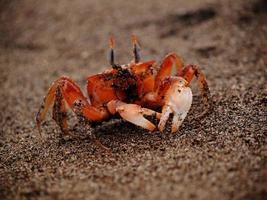 Orangenkrabbe auf dem Sand am Strand in Puerto Cayo