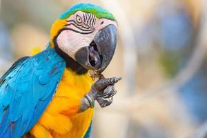 blauen Papagei füttern