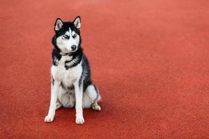 junges husky Hündchen, das im roten Boden draußen sitzt foto