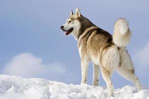 Sibirischer Husky foto