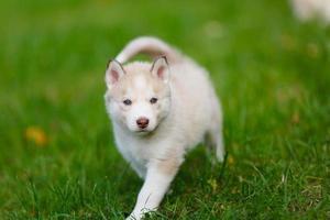 Husky Welpe auf einem grünen Gras foto