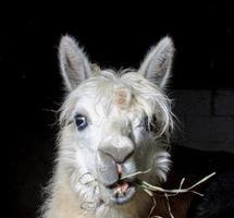 Alpaka, das auf der Farm füttert foto