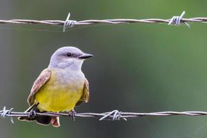 westlicher Kingbird foto