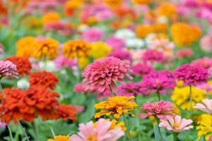 schöne Zinnia Blumen in einem Garten foto