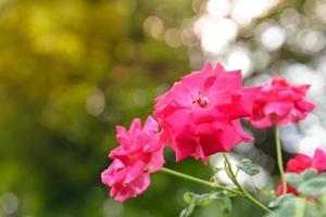 rote Rosen in einem sonnigen Garten foto