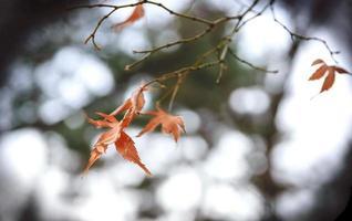schöne rote Blätter