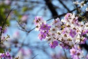 Blüten eines Pfirsichbaumes im Frühling