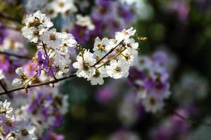 Blüten des Pfirsichbaums im Frühjahr