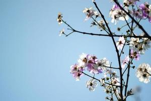 schöne Blüten des Pfirsichbaums im Frühjahr