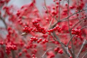 rote Beeren wachsen auf Zweig
