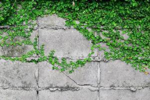 hellgrüne Blätter an einer Wand