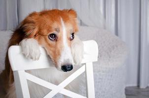 Border Collie Hundeporträt im Studio foto