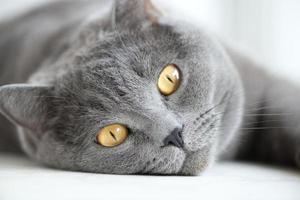 Schnauze der grauen britischen Katze foto